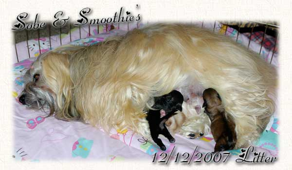 Sobe & Smoothies Havanese Puppies - Group Picture